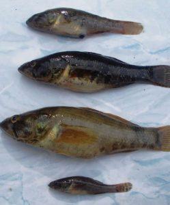 fauna-piscicola-delta-dunarii-stiinta-tehnica-3