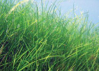 incdm-alge-marine-marea-neagra-stiinta-tehnica-1