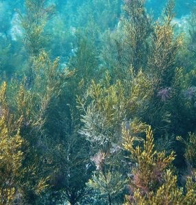 incdm-alge-marine-marea-neagra-stiinta-tehnica-2